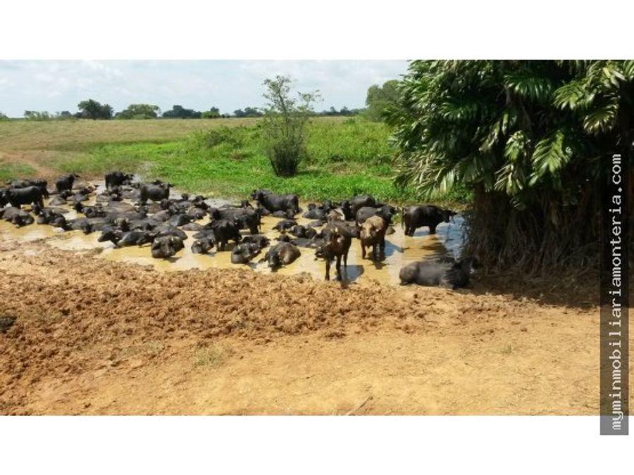 finca de 1080 hectareas a 16 en buenavista cordoba