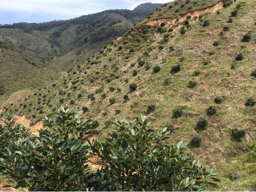 vendo finca de 360 hectareas con sembrado de aguacate hass en urrao