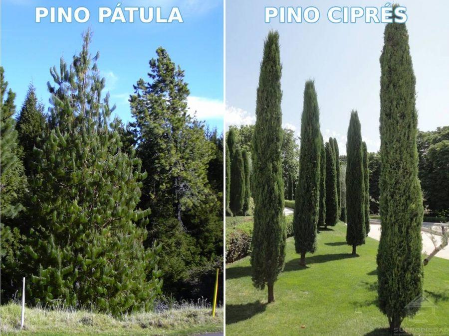 finca sembrada con pinos patula y cipres en el oriente antioqueno