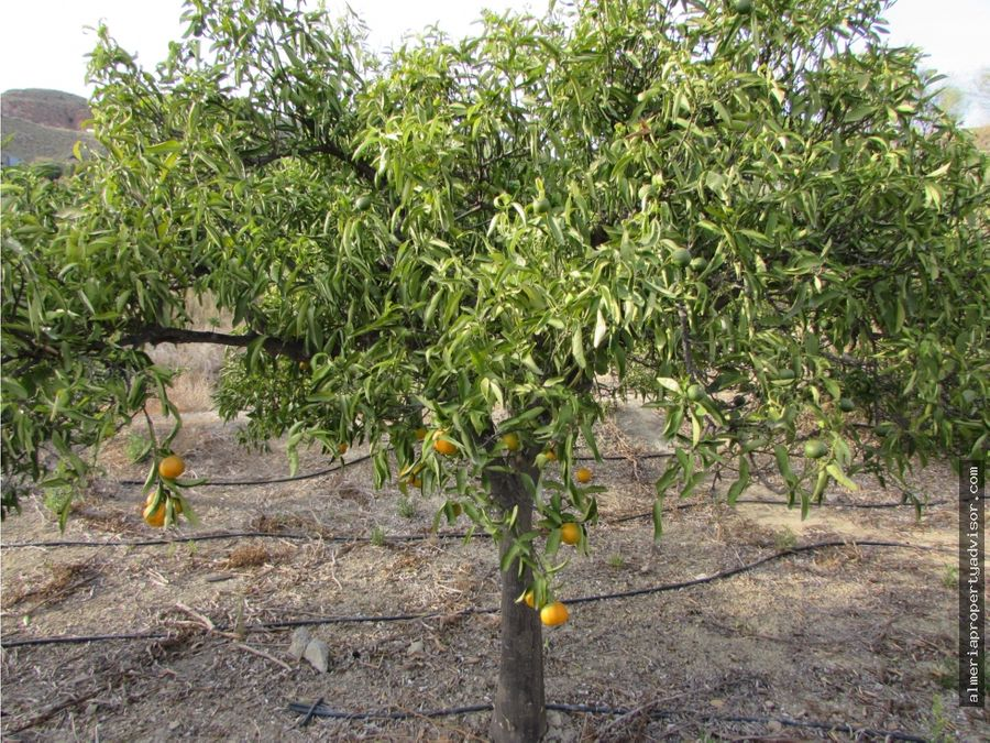 finca de 700 mandarinos