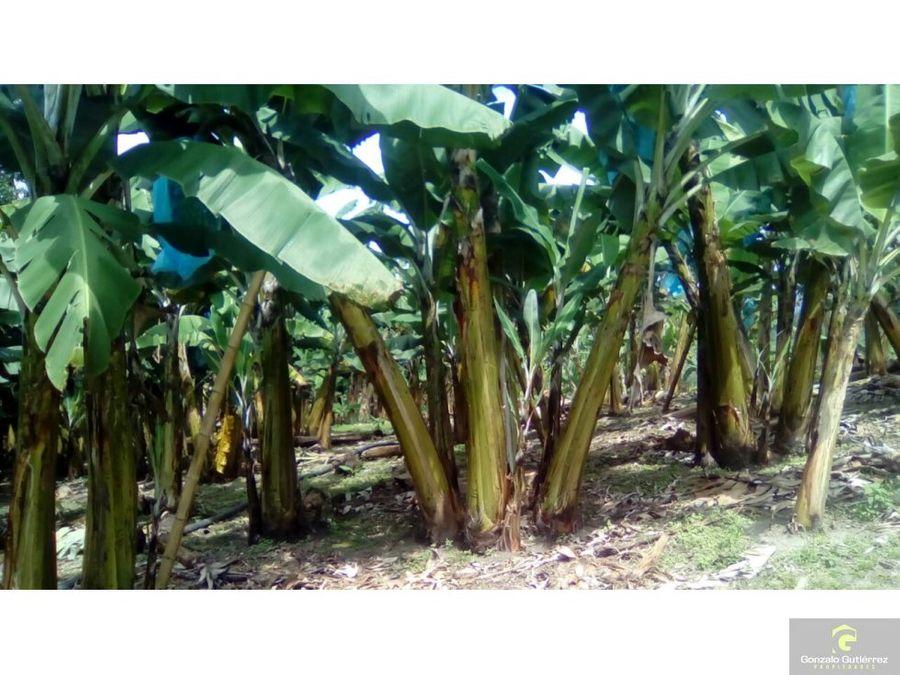 finca banano y gran paisaje calarca