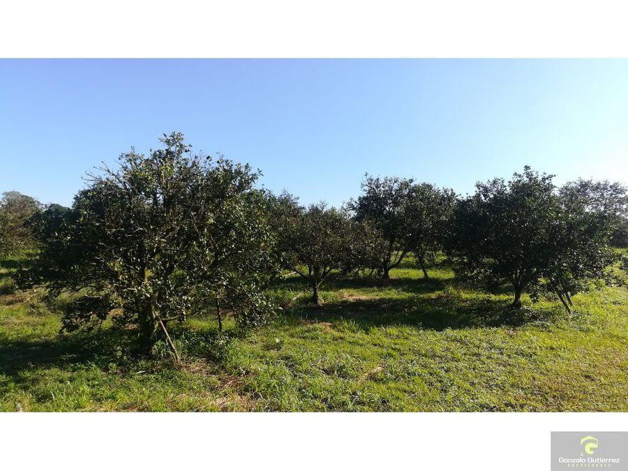 finca productiva citricos montenegro quindio 60
