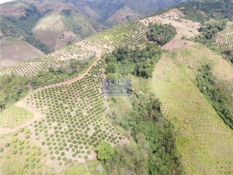 finca agricola limon tahiti 32000 arboles en produccion antioquia