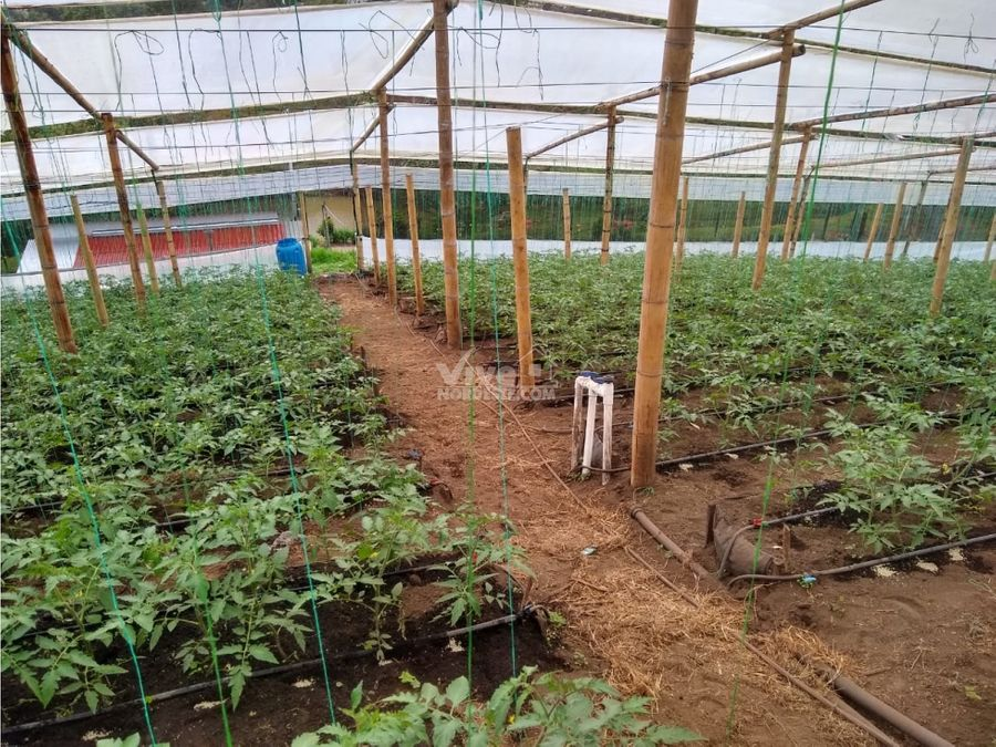 finca productora de tomates en la ceja antioquia