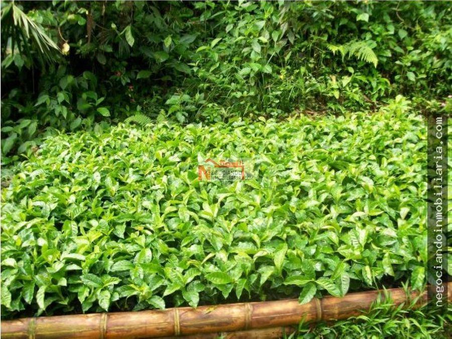 venta finca cultivada en cafe genova 28 cuadras