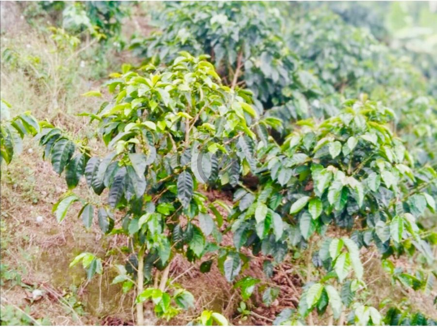 se vende finca cafetera 70 ha palmor sierra nevada santa marta