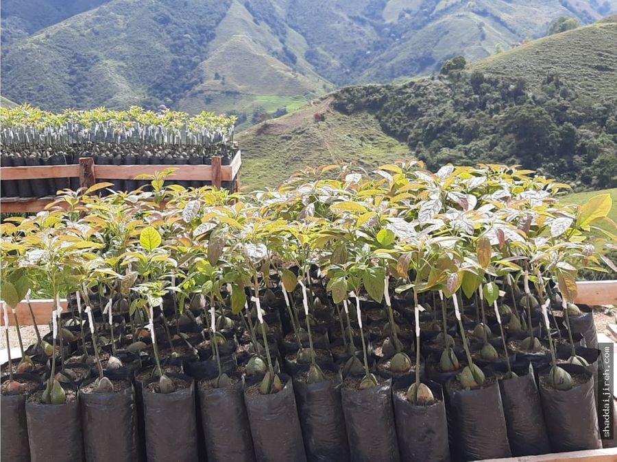 fincas en venta aguacate hass en colombia