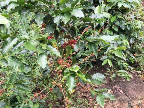 vendo 2 hectareas con siembro de cafe en caldera