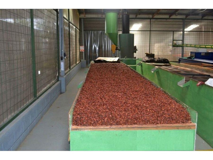 finca de cacao en produccion y crecimiento